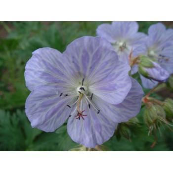 Geranium pratense 'Mrs....