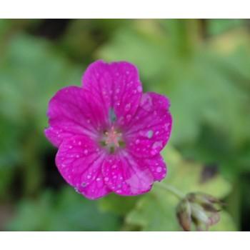 Geranium riversleaianum...