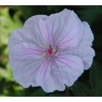 Geranium sanguineum...