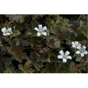 Geranium oxonianum 'Sanne'