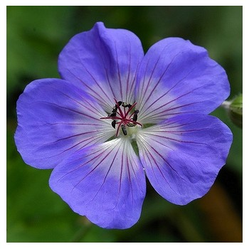 Geranium wallichianum...