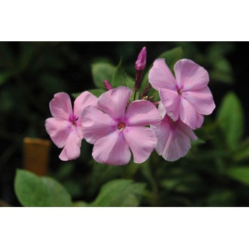 Phlox paniculata 'Early Gem'