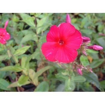 Phlox paniculata 'Starfire'