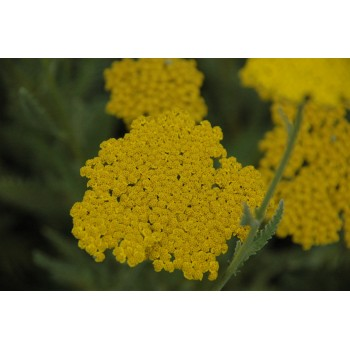 Achillea 'Coronation Gold'...