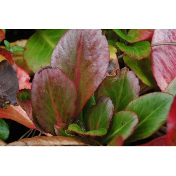 Bergenia 'wintermarchen'