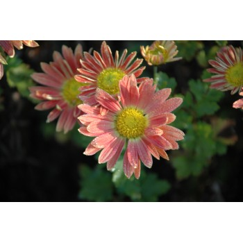 Chrysanthemum 'Apricot'...