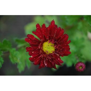 Chrysanthemum 'Cedie...