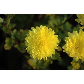 Chrysanthemum 'Citronella'...