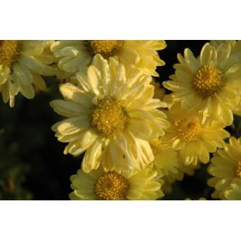 Chrysanthemum 'Goldmariane'...