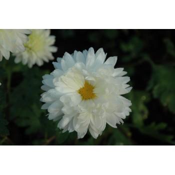 Chrysanthemum 'White Tower'...