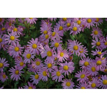 Chrysanthemum rubellum...