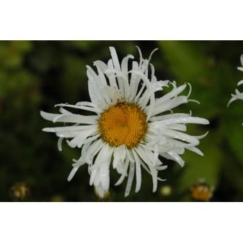 Leucanthemum 'Aglae'...