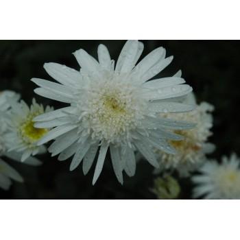 Leucanthemum 'Christine...