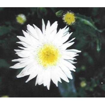 Leucanthemum 'Maximum...