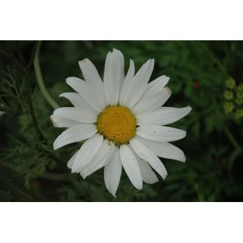 Leucanthemum 'Becky'...