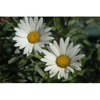 Leucanthemum 'Petite...