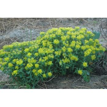 Euphorbia polychrma...