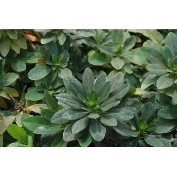Euphorbia amygdoloides...