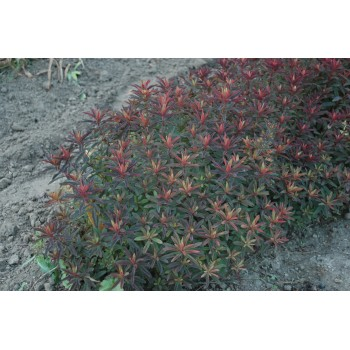 Euphorbia polychroma...