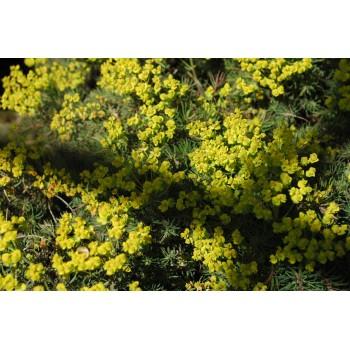Euphorbia cyparissias 'Fen...