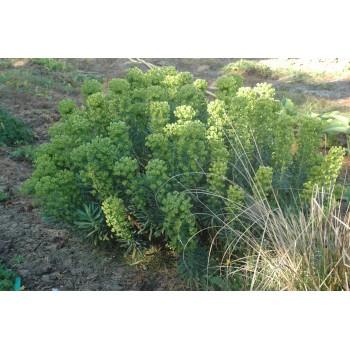 Euphorbia characias 'Black...