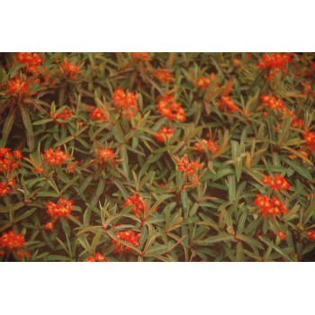Euphorbia griffithii 'Fire...
