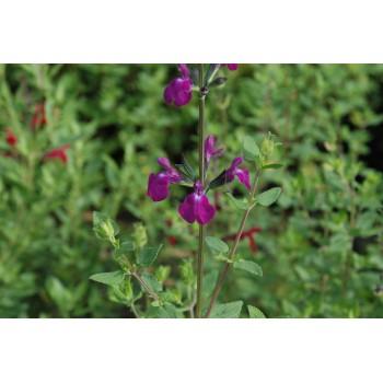 Salvia x microphylla...