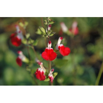 Salvia microphylla 'Hot...
