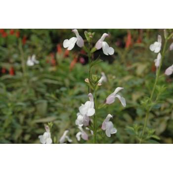 Salvia microphylla 'Trebah'...