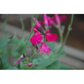 Salvia microphylla 'Cera...