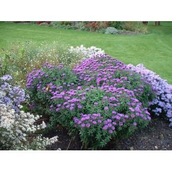 Aster novae angliae 'Purple...