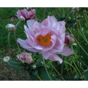 Anemone hyb. 'Mont Rose'