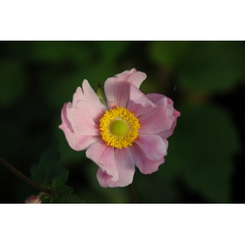 Anemone 'Serenade'