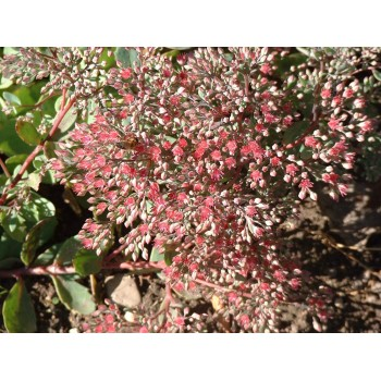Sedum cauticola 'Ruby glow'...