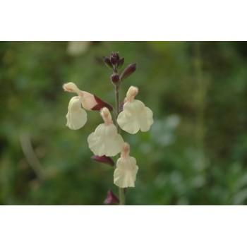 Salvia jamensis 'Irene'...