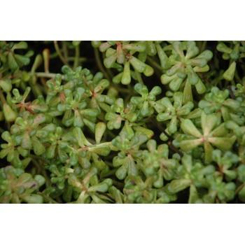 Sedum oreganum (orpin)
