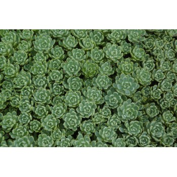 Sedum pachyclados (orpin)
