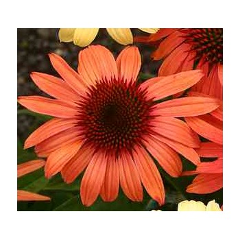 Echinacea 'Orange Passion'...