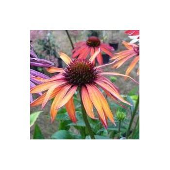 Echinacea 'Hot Summer'...