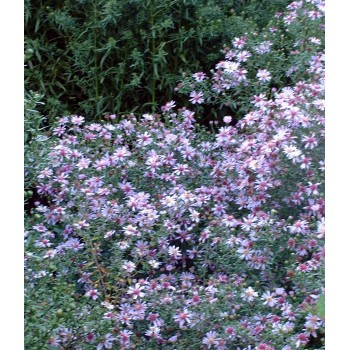 Aster lateriflorus 'Coombe...