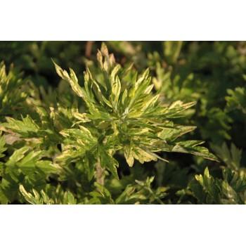 Artemisia oriental...
