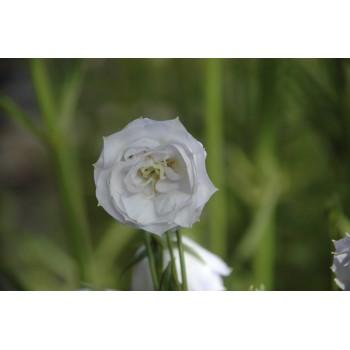 Campanula persicifolia 'La...