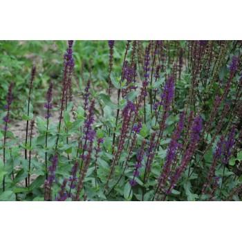 Salvia nemorosa 'Caradona'