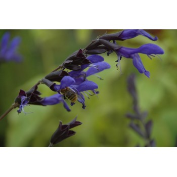 Salvia guaranitica 'Black...