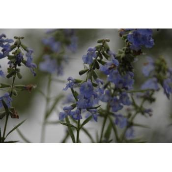 Salvia Azurea Grandiflora...