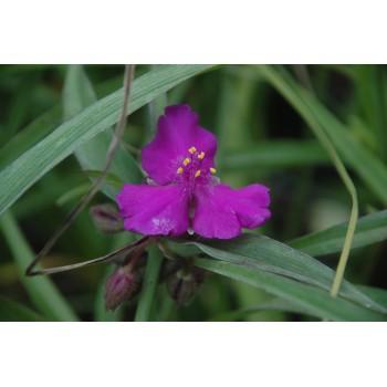 Tradescanthia Andersoniana...