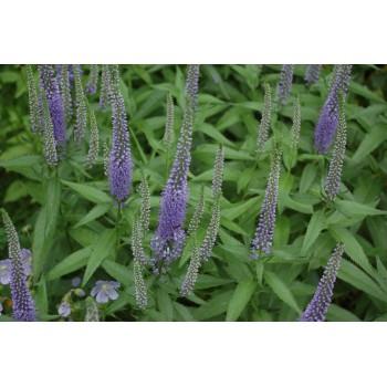 Veronica longifolia 'Blue...