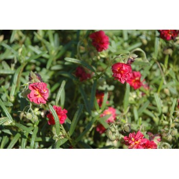 Helianthemum 'Cerise queen'...