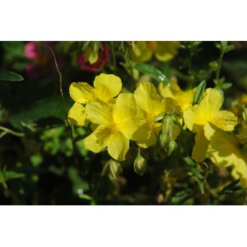 Helianthemum 'Ben Fhada'...