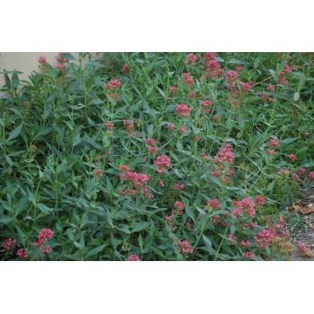 Centranthus ruber (valeriane)